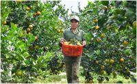 Kết quả thực hiện Đề án phát triển cây trồng, vật nuôi có lợi thế phát triển trên địa bàn các huyện miền núi của tỉnh.